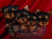 Йоркширского терьера щенки от производителей из питомника Stribrne prani
